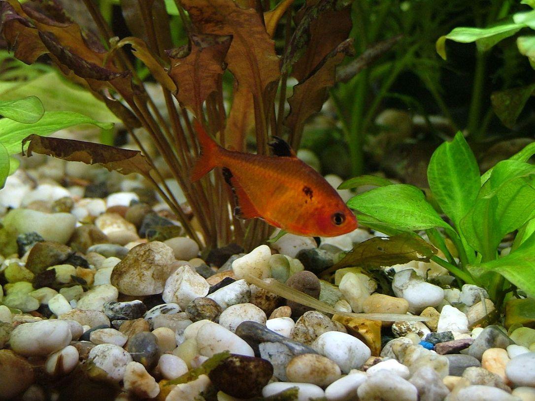Blutsalmler DNZ - Super Rot - Hyphessobrycon callistus - Größe 3-3,5